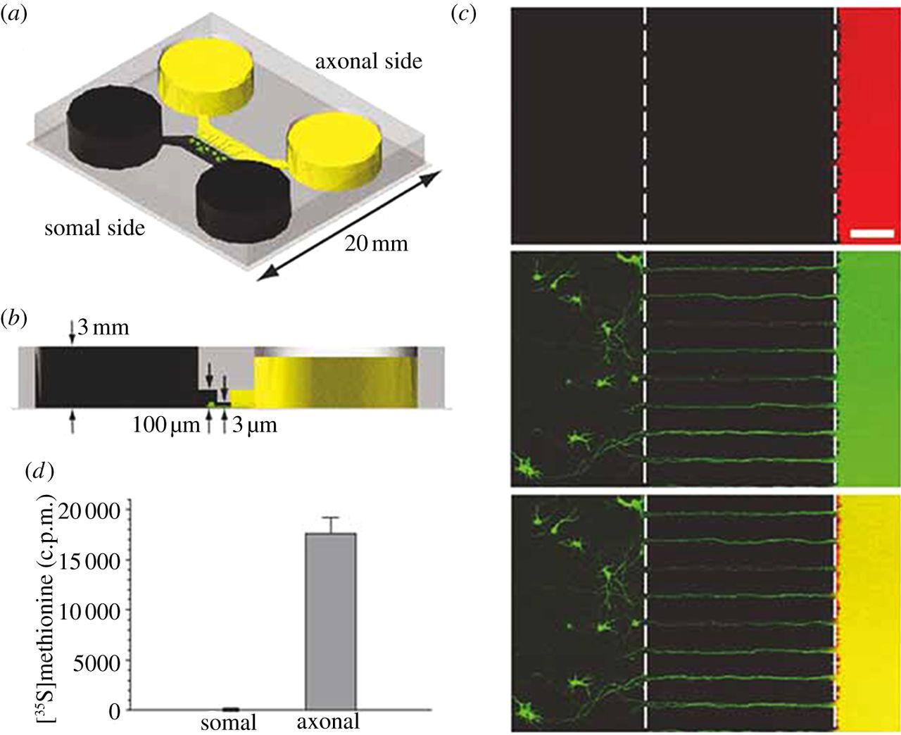 how to fix in vitro neuron culture